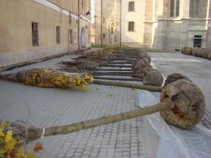 arbori-ornamentali-ungaria-alba-iulia