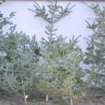 27 de brazi de Crăciun, comercializați ilegal într-o piață din Alba Iulia, confiscați de polițiști iar comercianți sancționați contravențional