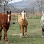 Bărbat din Alba Iulia suspectat de furtul a trei cai reţinut de polițiști