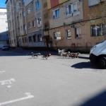Haitele de câini vagabonzi din zona magazinului Dedeman din Alba Iulia au devenit un motiv de îngrijorare pentru numeroși părinți