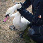 DSVSA Alba anunță că lebăda prinsă în gheața pe râul Mureș, salvată de pompieri, nu prezintă simptome ale unei boli infecțioase